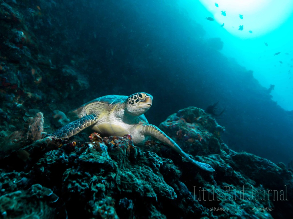 Resting in Feydhoo Wall's many caves, these turtles resemble old men on park benches. Photo: Ali Miuraj